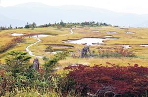 苗場山の山頂では、池塘と高山植物を眺めながら遊歩道を歩くことができる