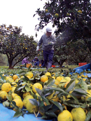 ゆずの収穫。仕事を休んで作業を手伝う家族もおり多忙を極める