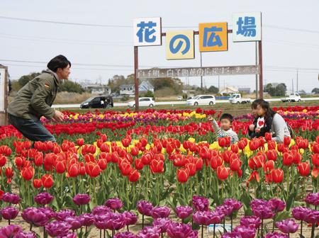 7万7000本のチューリップが咲き誇る「白子町花の広場」(白子町提供)