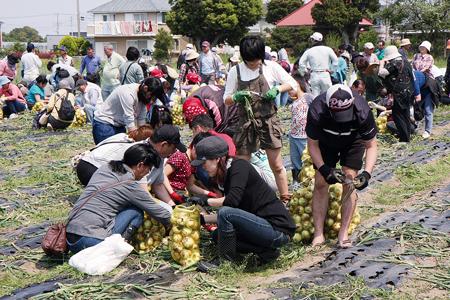 白子たまねぎ祭りでも大人気の収穫体験(白子町提供)