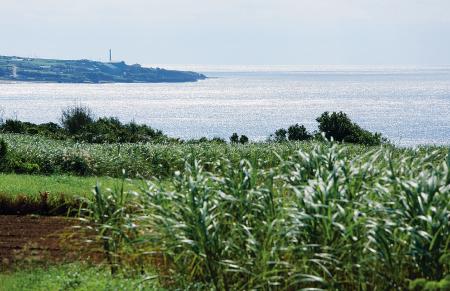 サトウキビ畑が広がる徳之島。犬田布岬(伊仙町)から東シナ海を望む